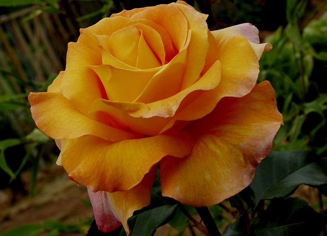 hermosa rosa